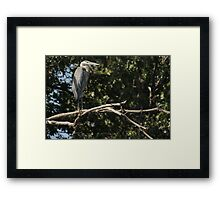 Great Blue Heron on the Wisconsin River Framed Print