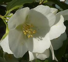 Philadelphus, Mock Orange by LindyLouMac