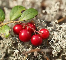 cranberries and gray moss by mrivserg