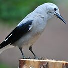 Clark's Nutcracker by JennaKnight