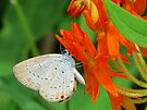 Eastern Tailed Blue on Butterfly Weed by Ron Russell