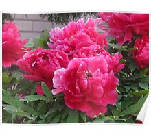 The Gift of Peonies Poster