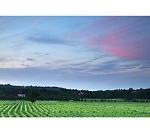 Denbies Vineyard, Dorking, Surrey Photographic Print