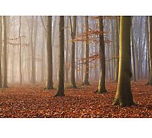 Beech Wood, Newlands Corner, Surrey Photographic Print