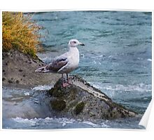 Gull on the Chilkoot River Poster