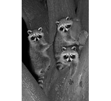 Three Baby Raccoons Photographic Print