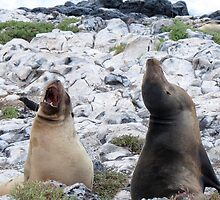 two sea lions by Anne Scantlebury