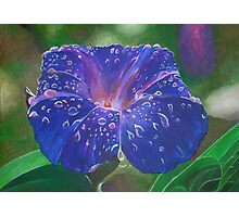 Deep Purple Morning Glory With Morning Dew Photographic Print