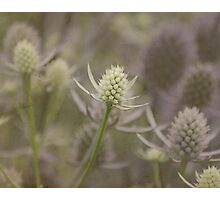 Sea Holly: Eryngium Lavender and white thistle like flowers Photographic Print