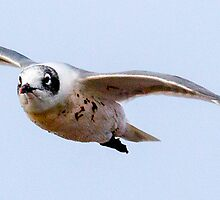 Franklin's Gull In Flight by Robbie Knight