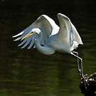 Great Egret on takeoff by Nancy Barrett