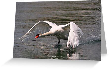 Mute Swan Taking Flight by Nancy Barrett