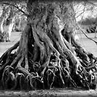 Wannamal Lakes Tree Roots by Michelle Cocking