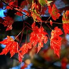 Red Orange Leaves by KellyHeaton
