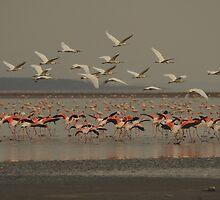 Flamingo, Magadi lake, Kenia by Konstantin Zhuravlev