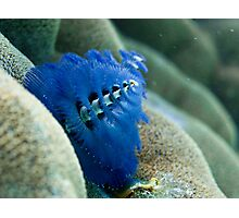 Christmas tree worm, Great Barrier Reef Photographic Print