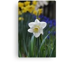 white daffodil Canvas Print
