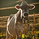 Grazing white cow by UniSoul