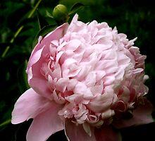 Sarah Bernhardt Peony by StellaBella181