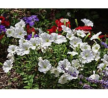A garden of Pansies Photographic Print