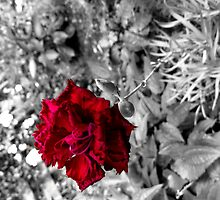 Selective colour flower by pantherart
