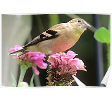 Female American Goldfinch  Poster