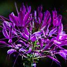 Spider Flower Lavender  by KSKphotography