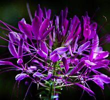 Spider Flower Lavender  by KSKphotography