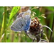 A little Blue Butterfly Photographic Print