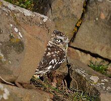 Little Owl in Profile by Brian Avery