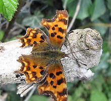 Comma Butterfly by rattailz