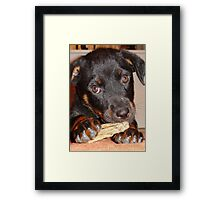 Rottweiler Puppy Chewing a Treat Framed Print