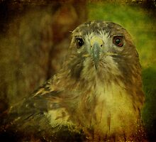Red-tailed Hawk II by Sandy Keeton