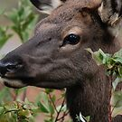 Elk Calf Portrait #2 by Ken McElroy