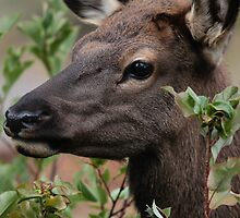 Elk Calf Portrait #2 by Ken McElroy
