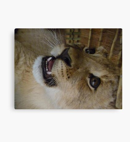 baby lion cub growling Canvas Print