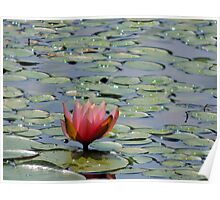 Lilly pad with pink flower Poster