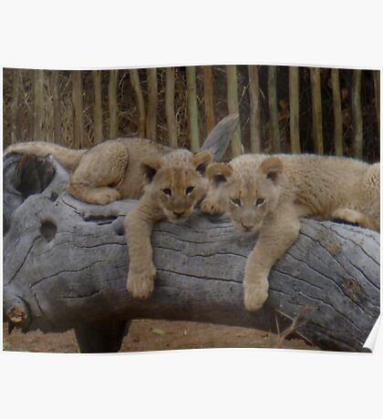 twin lion cubs chilling out Poster