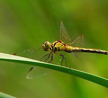 dragonfly by davvi