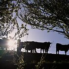 Angus heifers in the South Gippsland hills, 2012 by Fiona Lokot