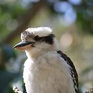 Kookaburra  by aussiebushstick
