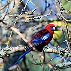Crimson rosella, Silvan Reservoir by Fiona Lokot