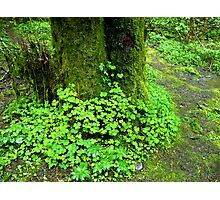 Oregon Oxalis Photographic Print