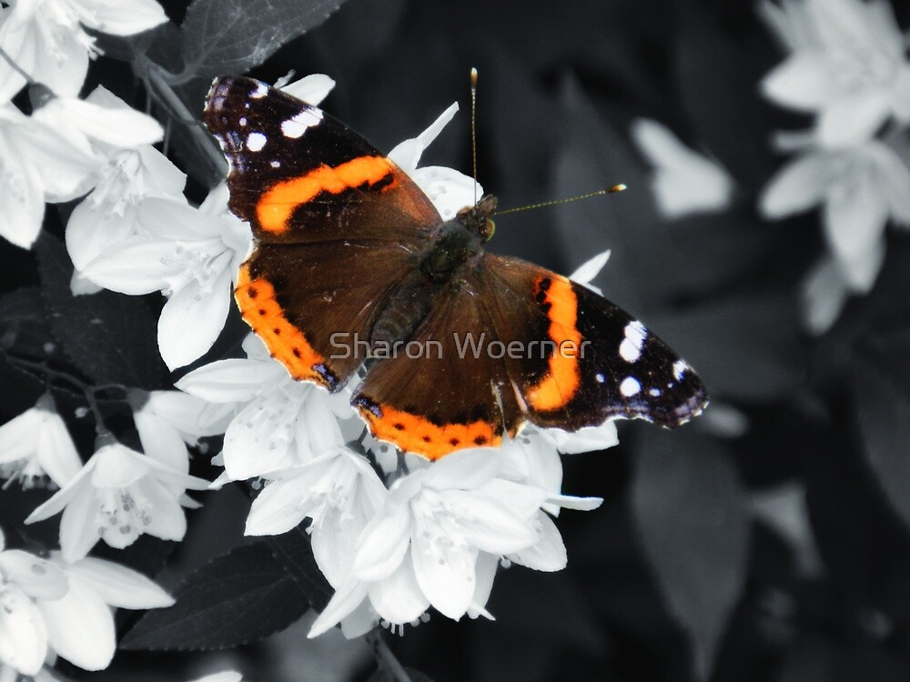 Red Admiral Butterfly by Sharon Woerner