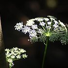 Queen Anne's Lace by Stephen  Van Tuyl