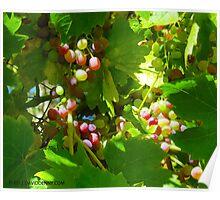 Grapes in Sebastopol Sun Poster