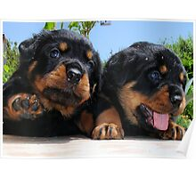 Two Rottweiler Puppies, High Five Poster