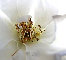My Rose by aprilann