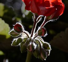 Furry stems & buds on a Geranium. by ronsphotos