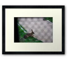 Rabbit through the fence Framed Print